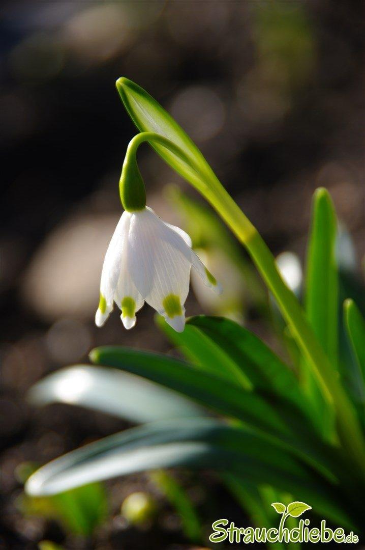 Frühlings-Knotenblume (Leucojum vernum)