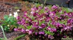 Christrose (Helleborus orientalis)