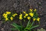 Mini-Narzissen (Narcissus)