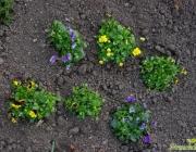 Horn-Veilchen (Viola cornuta)