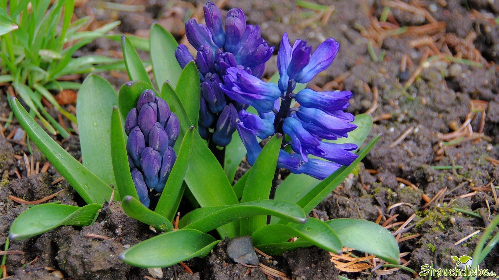 Hyazinthen (Hyacinthus)