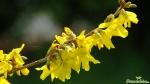 Forsythie (Forsythia × intermedia Zabel)