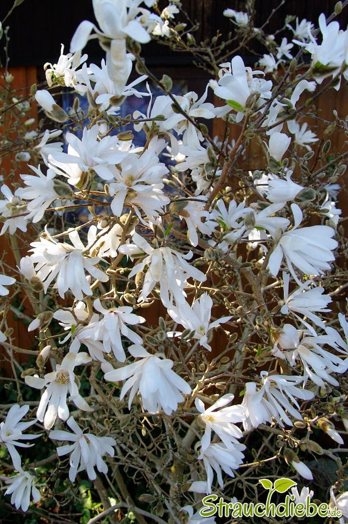 Sternmagnolie (Magnolia stellata)