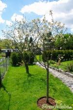 Sauerkirschbäume (Prunus cerasus)