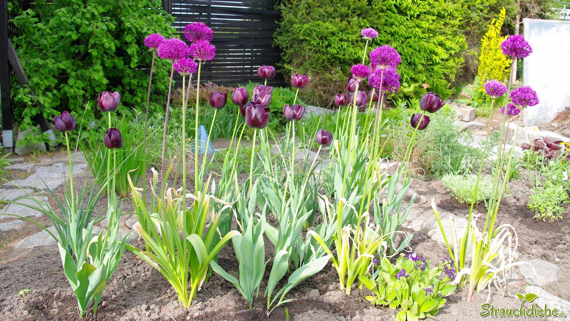 Tulpen (Tulipa) und Zierlauch (Allium)