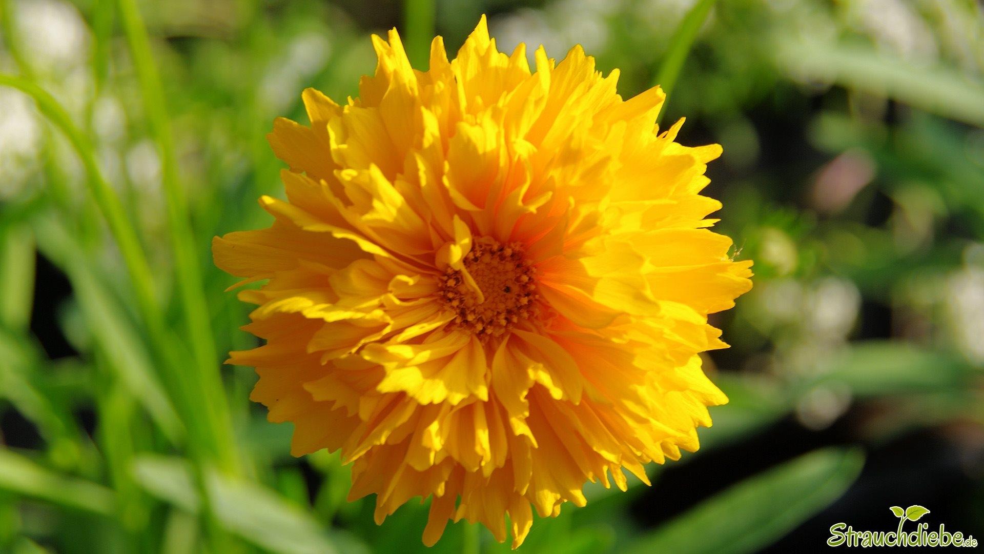 Großblumiges Mädchenauge (Coreopsis grandiflora)
