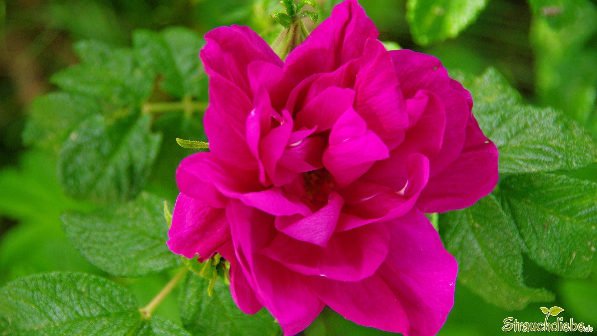 Rosa corymbifera strauchdiebe - Gartenarbeiten im mai ...