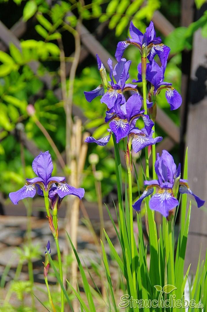 Iris/Schwertlilie (Iridoideae)