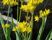 Goldlauch (Allium moly)