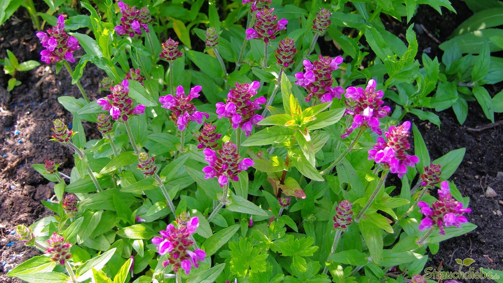 Große Braunelle (Prunella grandiflora)