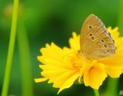 Bläuling (Polyommatus icarus)