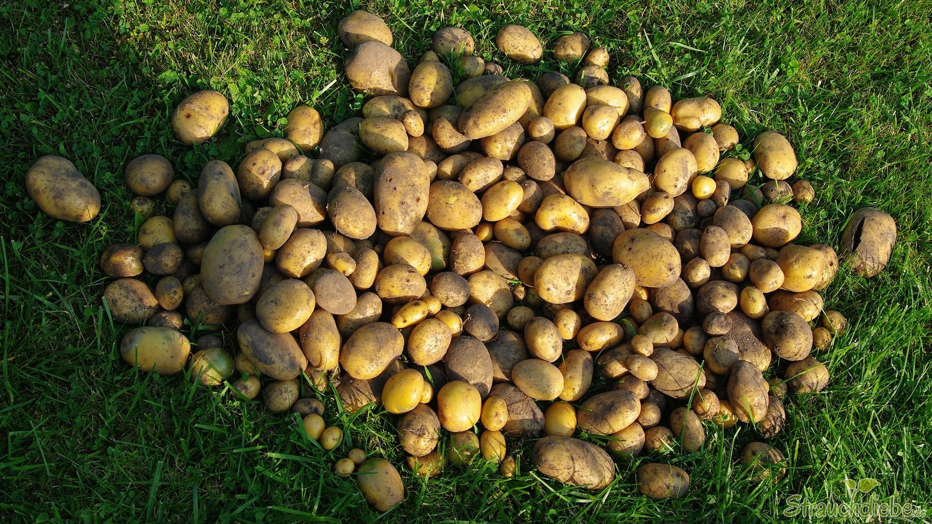 Kartoffelernte 2015