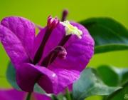 Drillingsblume (Bougainvillea glabra)