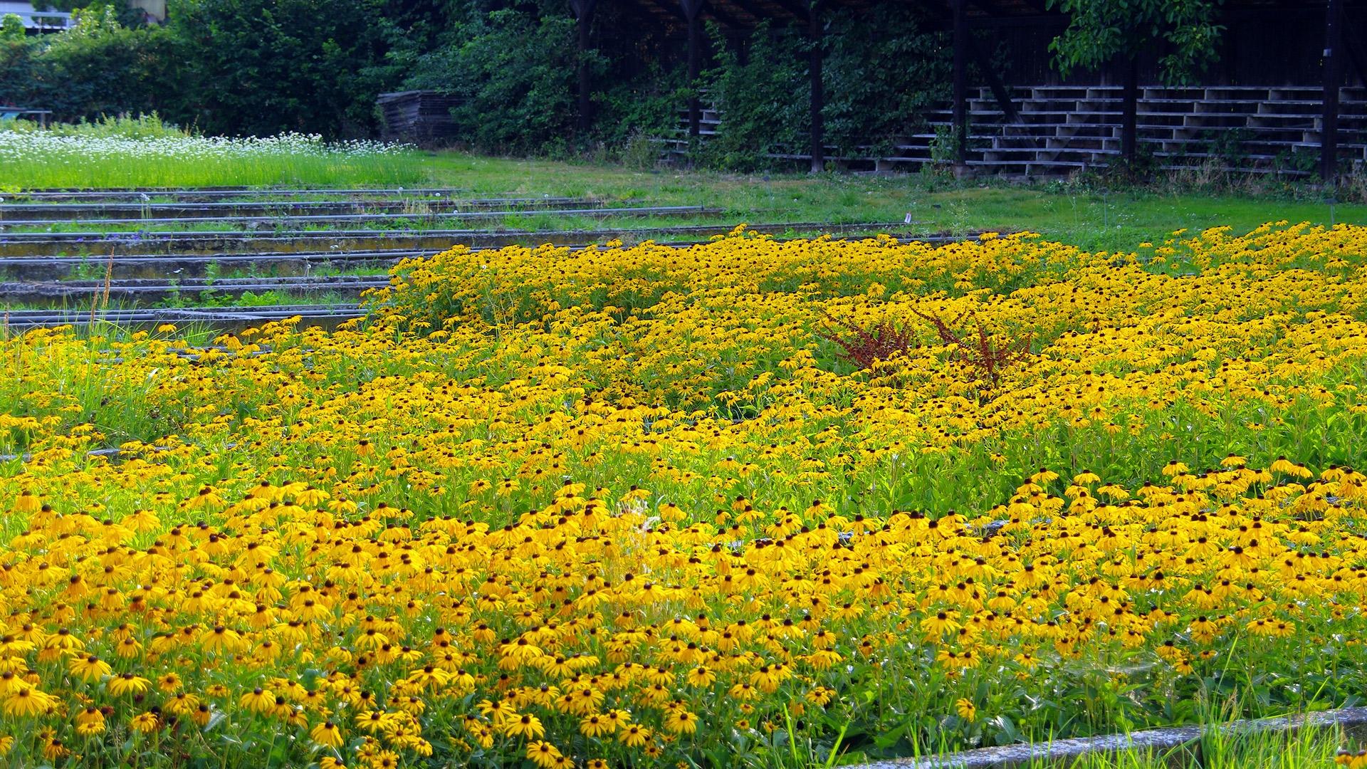 Gelber Sonnenhut (Rudbeckia fulgida)