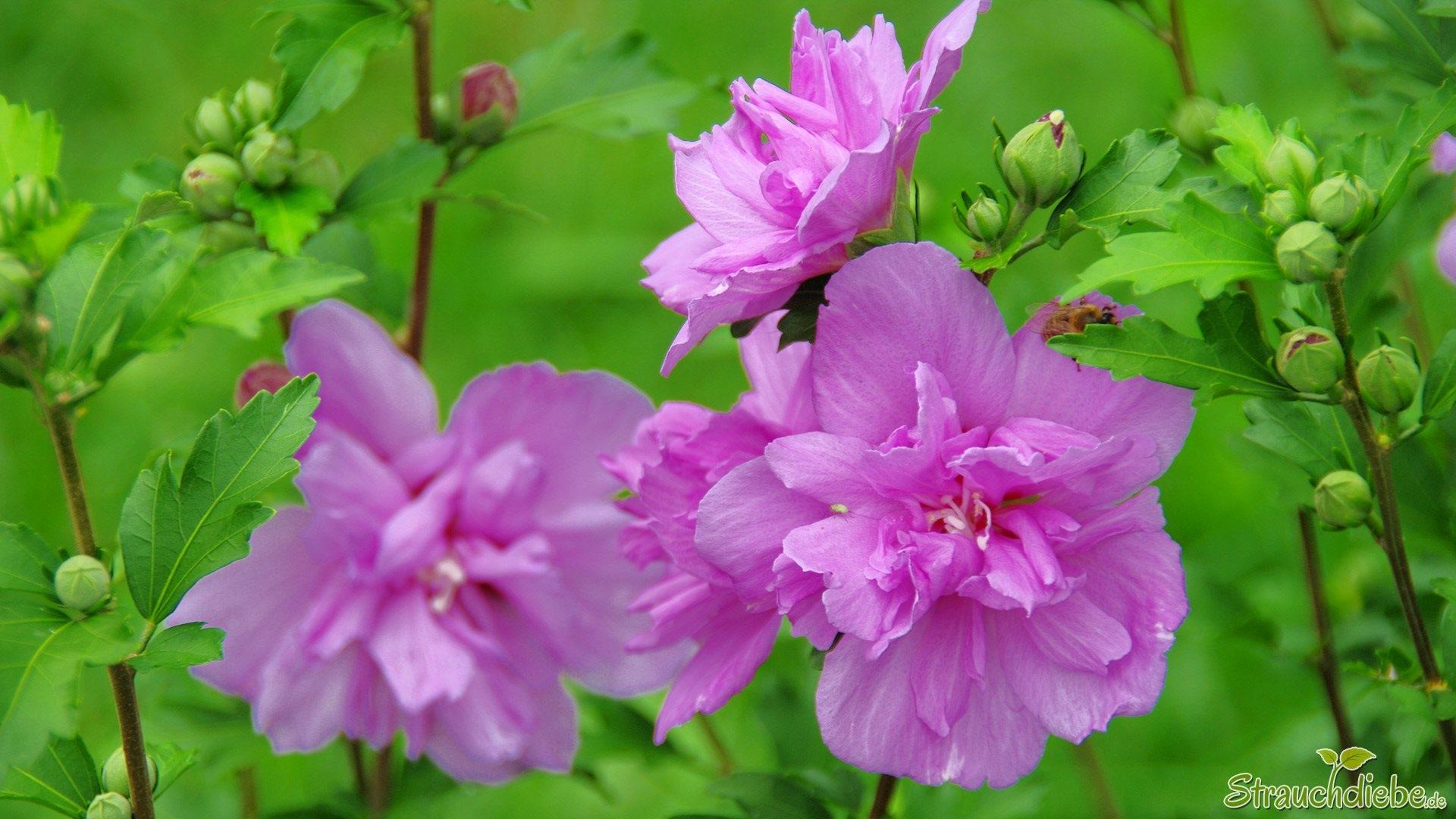 Hibiskus (Hibiscus)