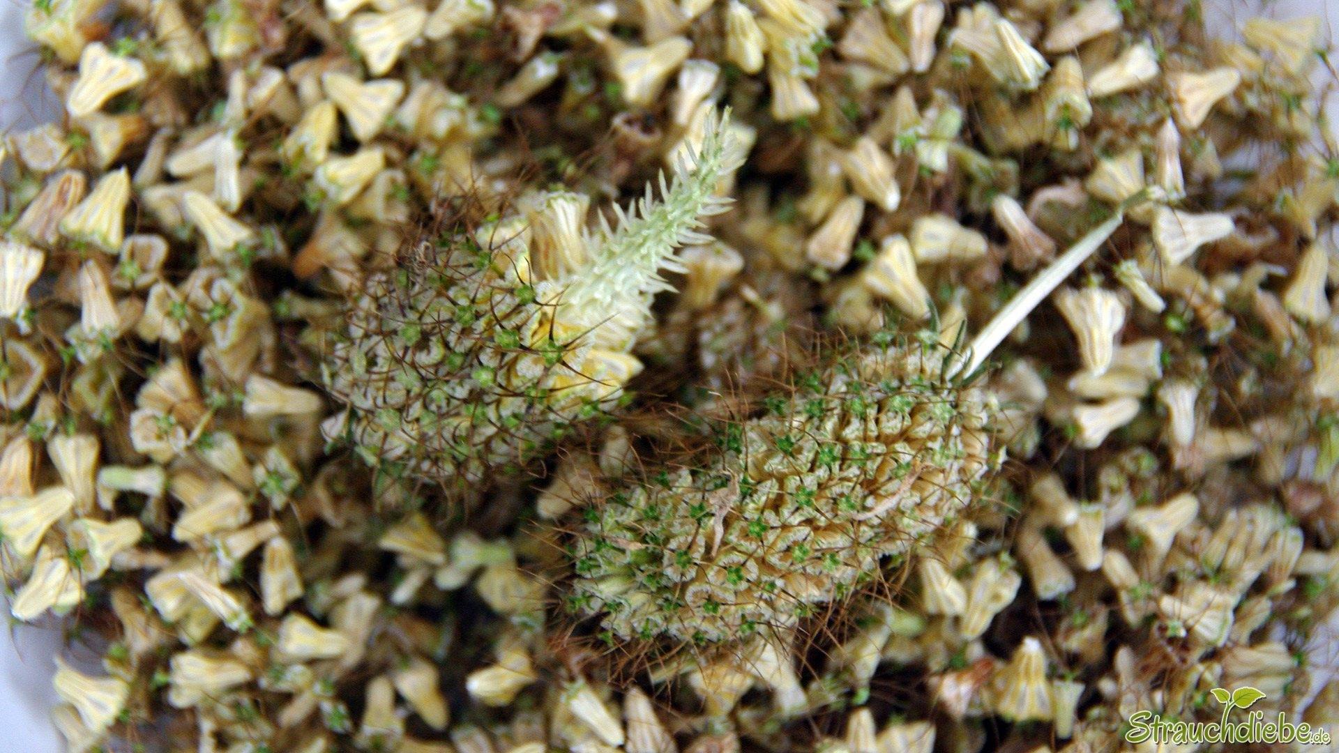 Tauben-Skabiose (Scabiosa columbaria)