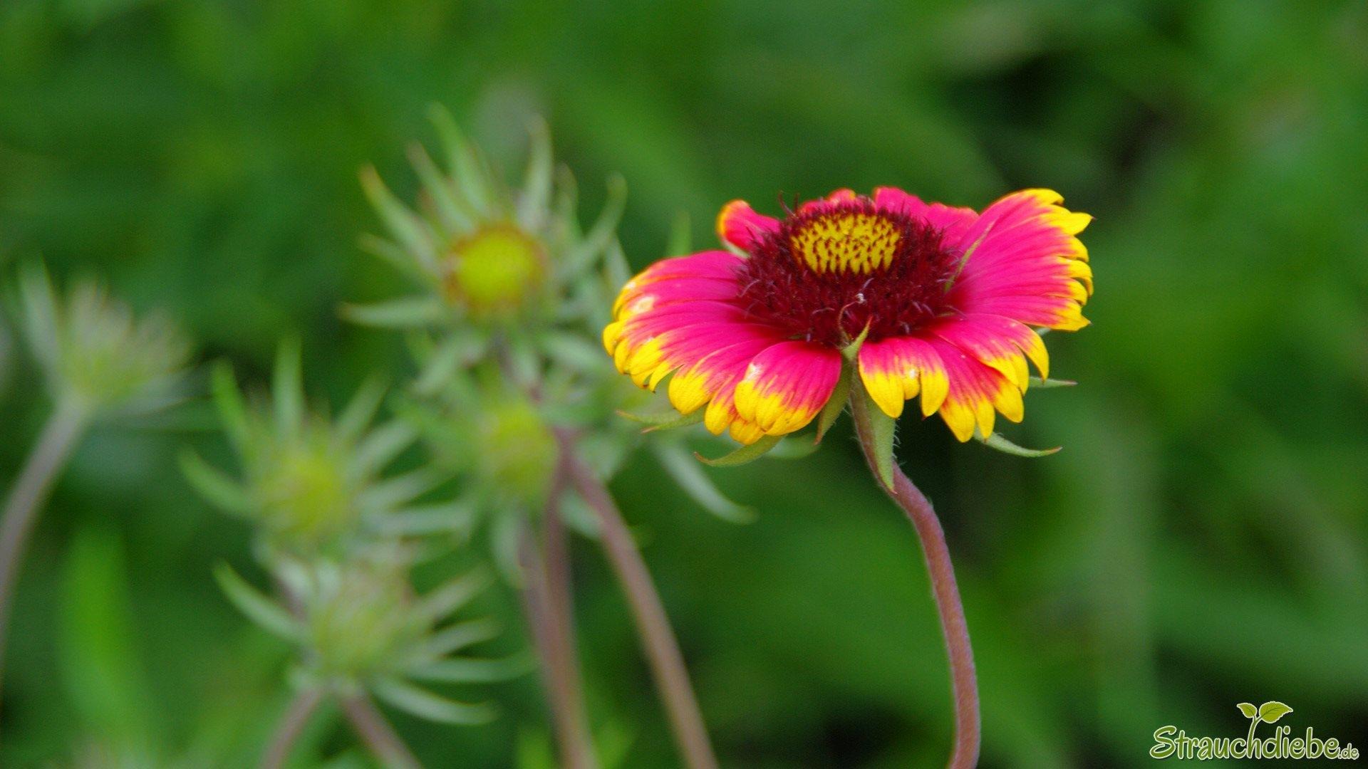 Kokardenblume (Gaillardia)