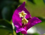 Bougainvillea (Drillingsblume)