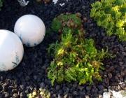 Milder Mauerpfeffer (Sedum sexangulare)