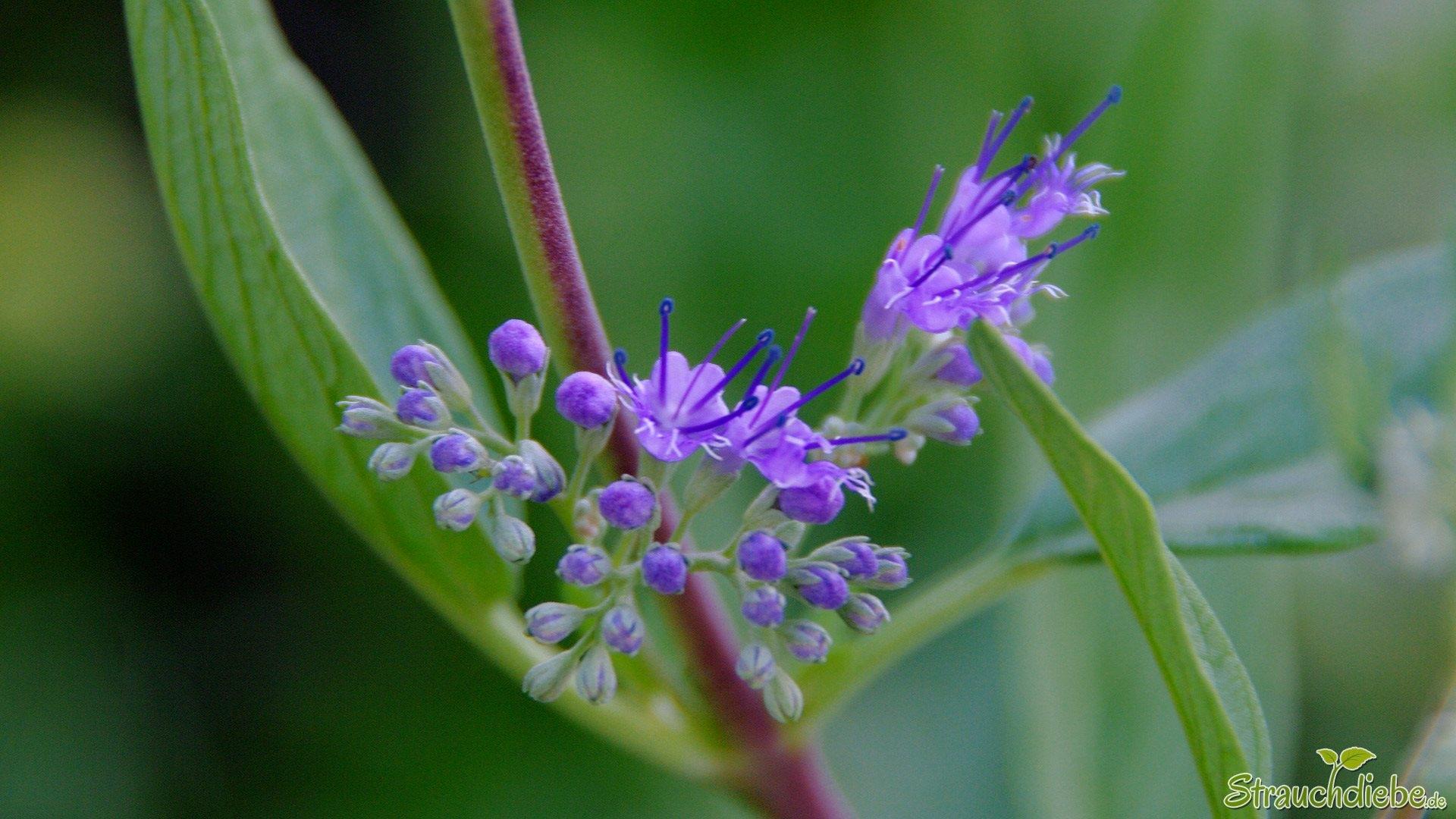 Cladon-Bartblume (Caryopteris ×clandonensis 'Heavenly Blue')