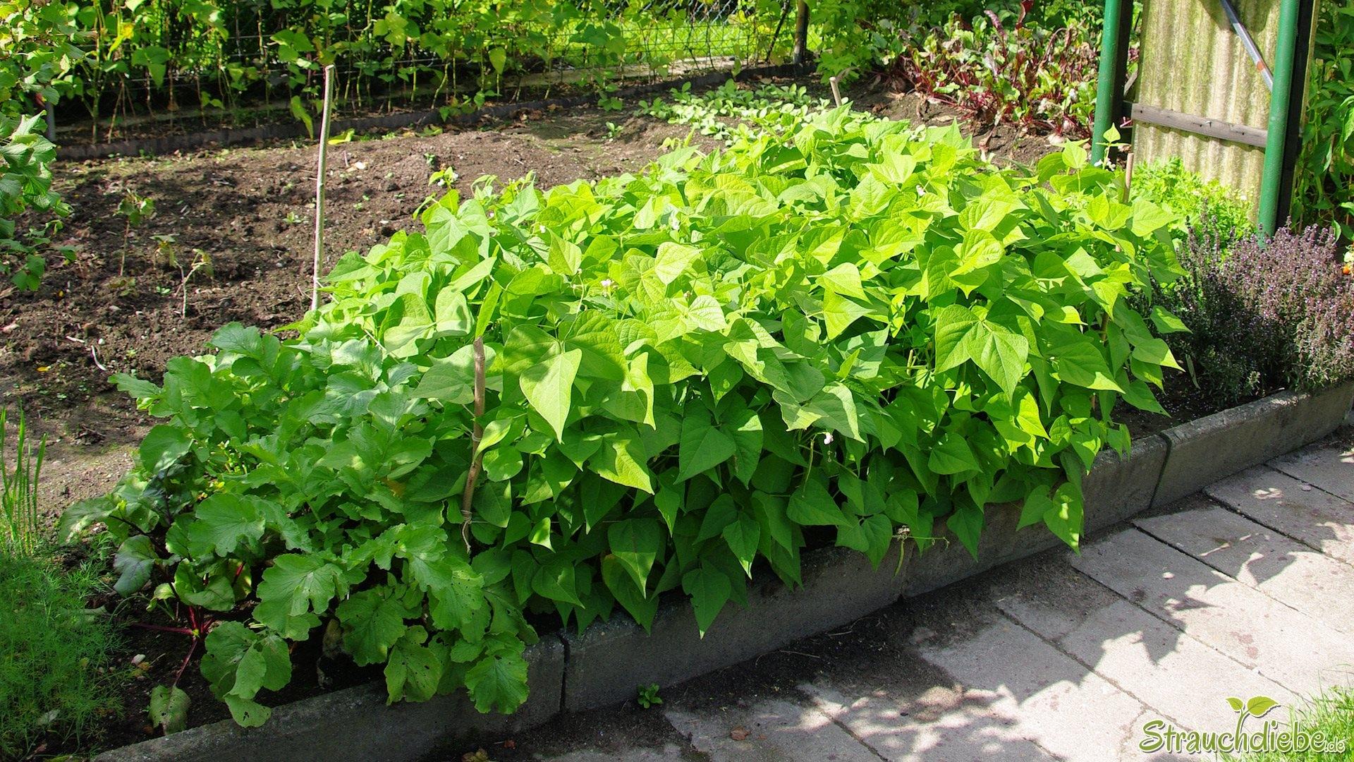 Buschbohnen strauchdiebe - Gartenarbeiten im mai ...