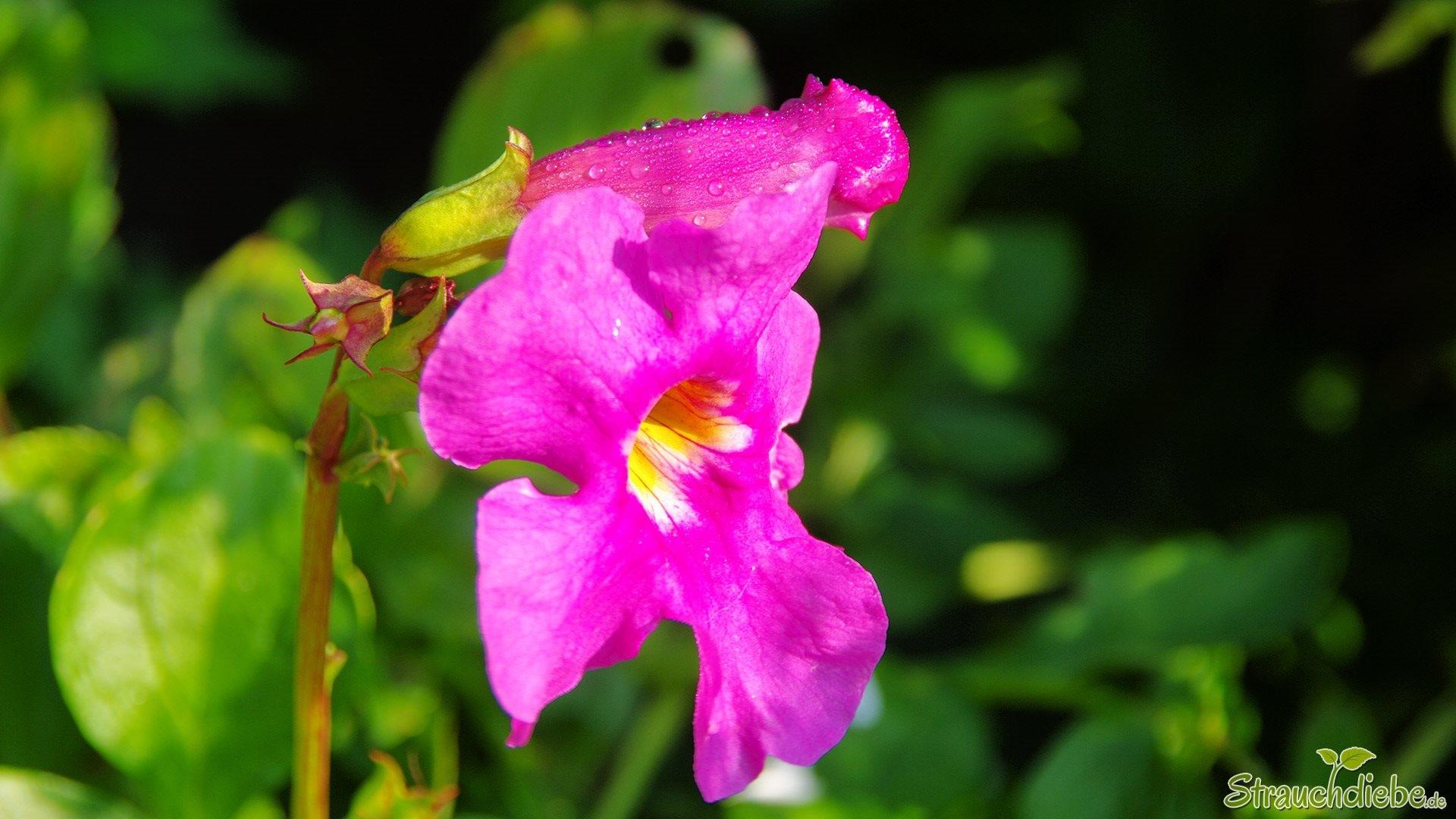 Gartengloxinie (Incarvillea delavayi)