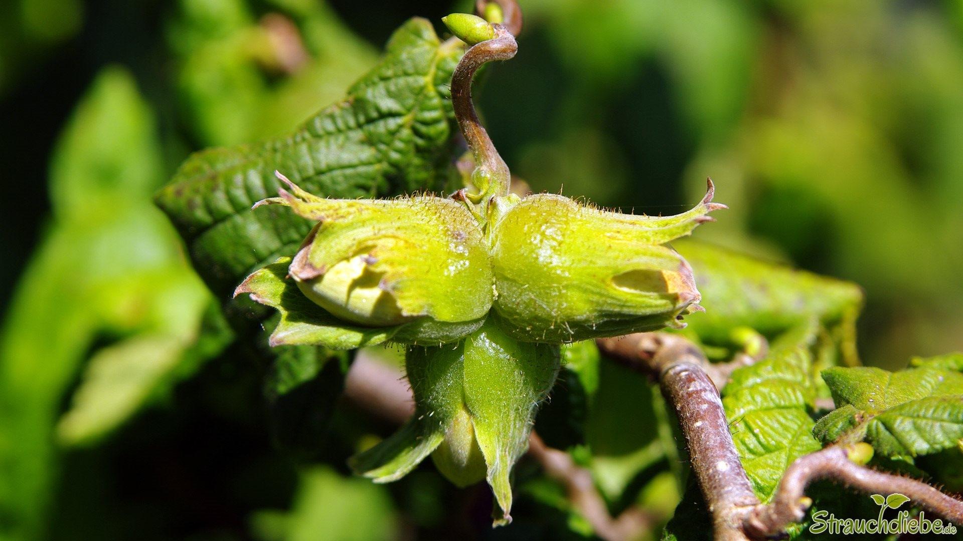 Hasel (Corylus avellana)