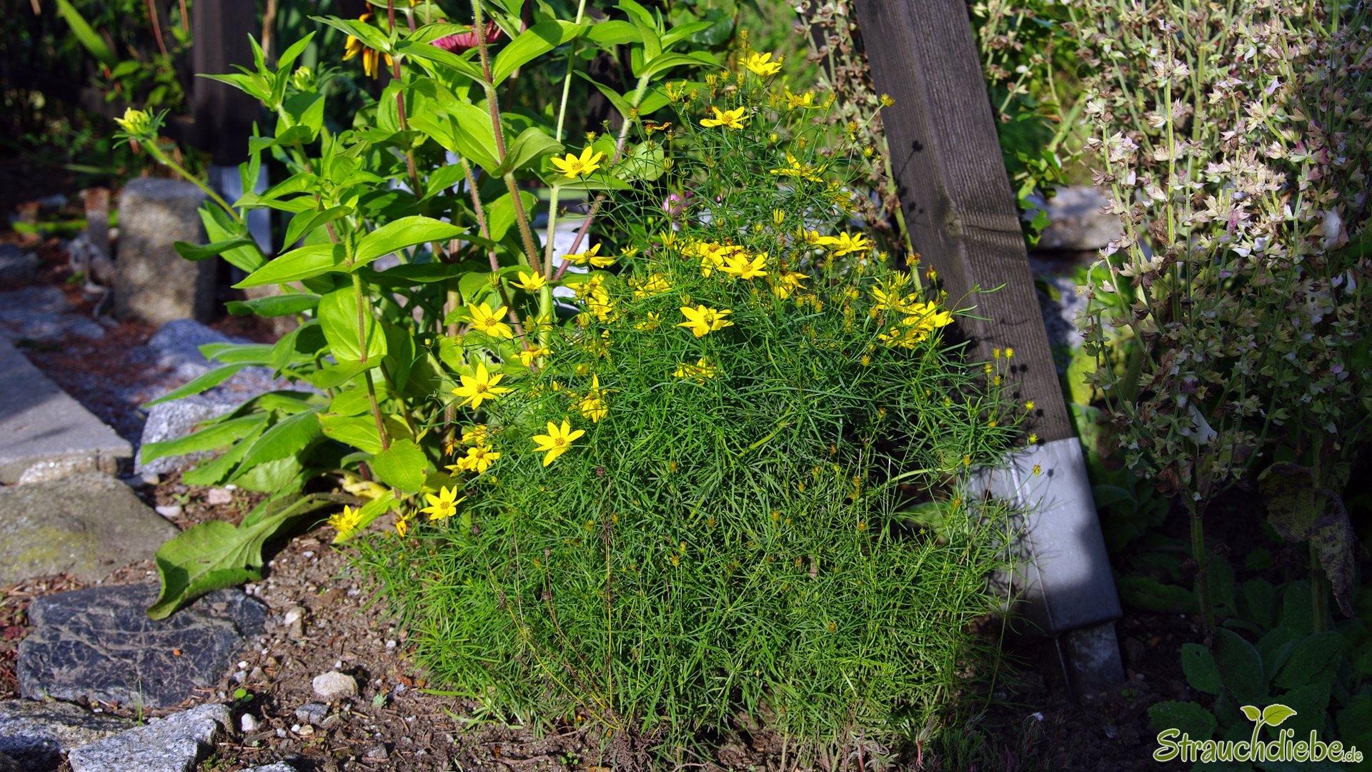 Quirlblättriges Mädchenauge (Coreopsis verticillata)