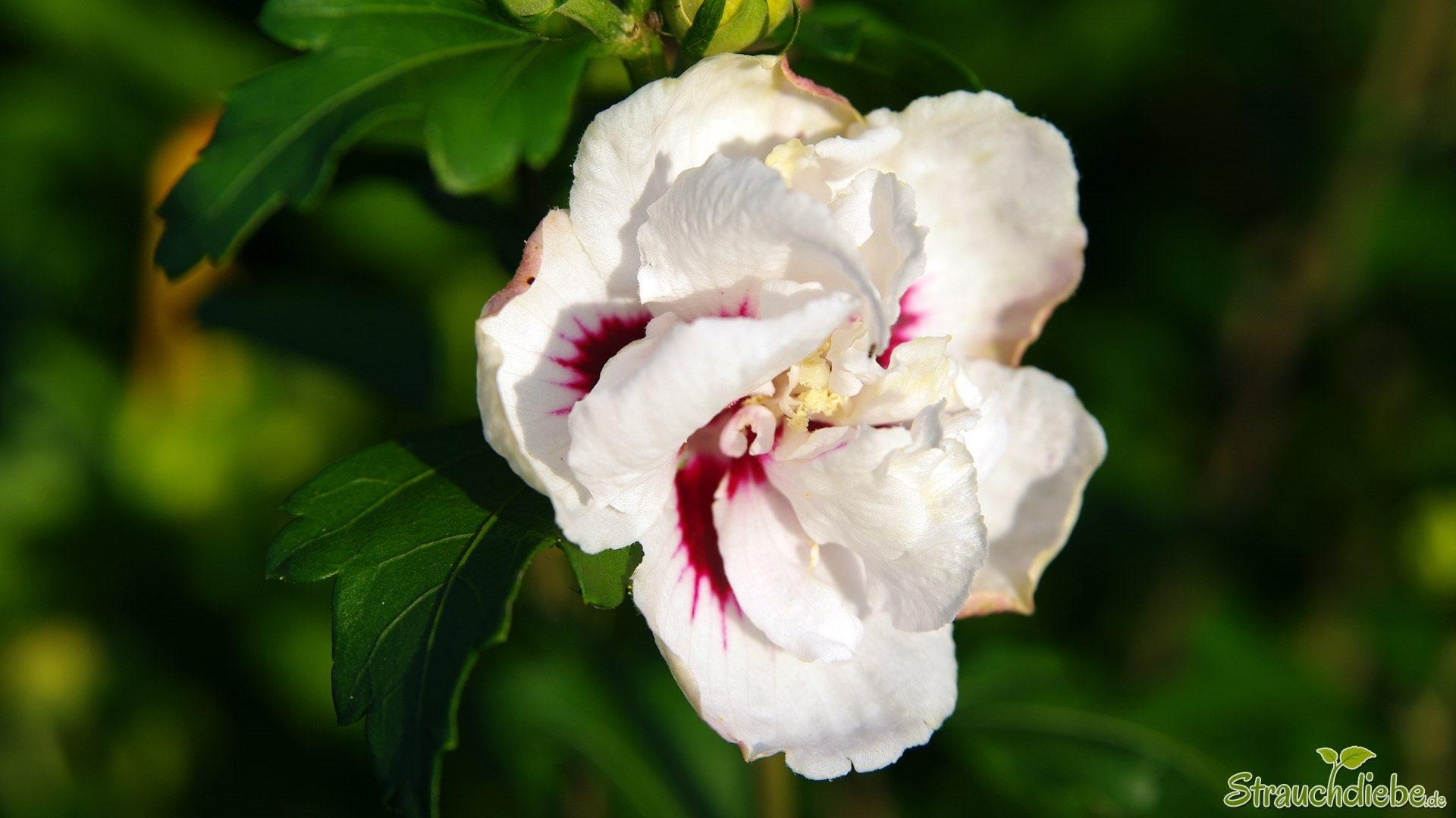 Hibiskus (Hibiscus syriacus)