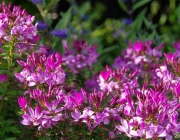 Spinnenblume (Cleome spinosa)