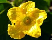 Hokkaido-Blüte