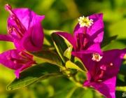 Drillingsblume (Bougainvillea)
