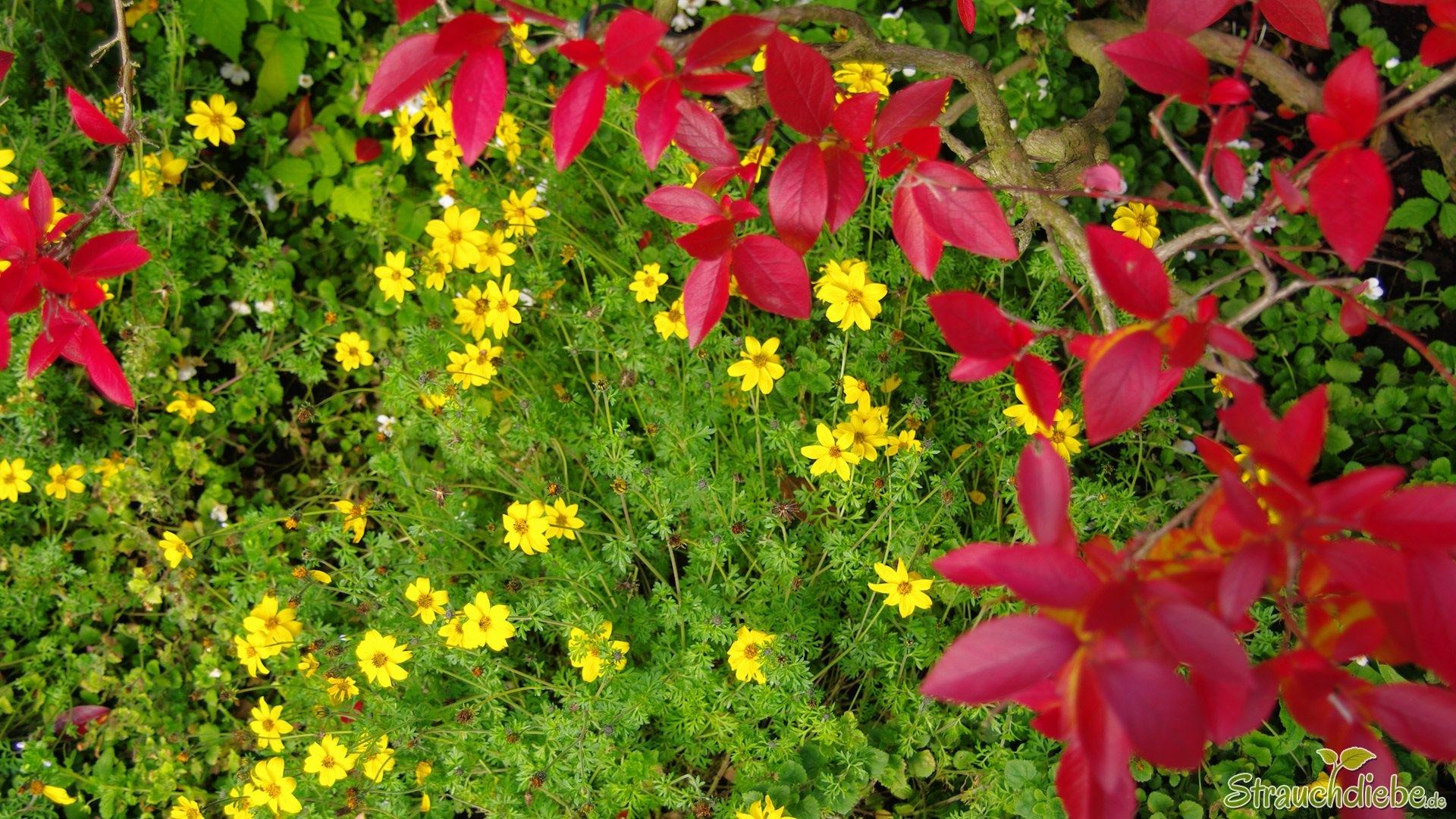 Goldzweizahn (Bidens ferulifolia)
