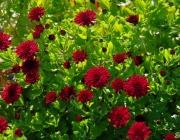 Chrysantheme (Chrysanthemum)