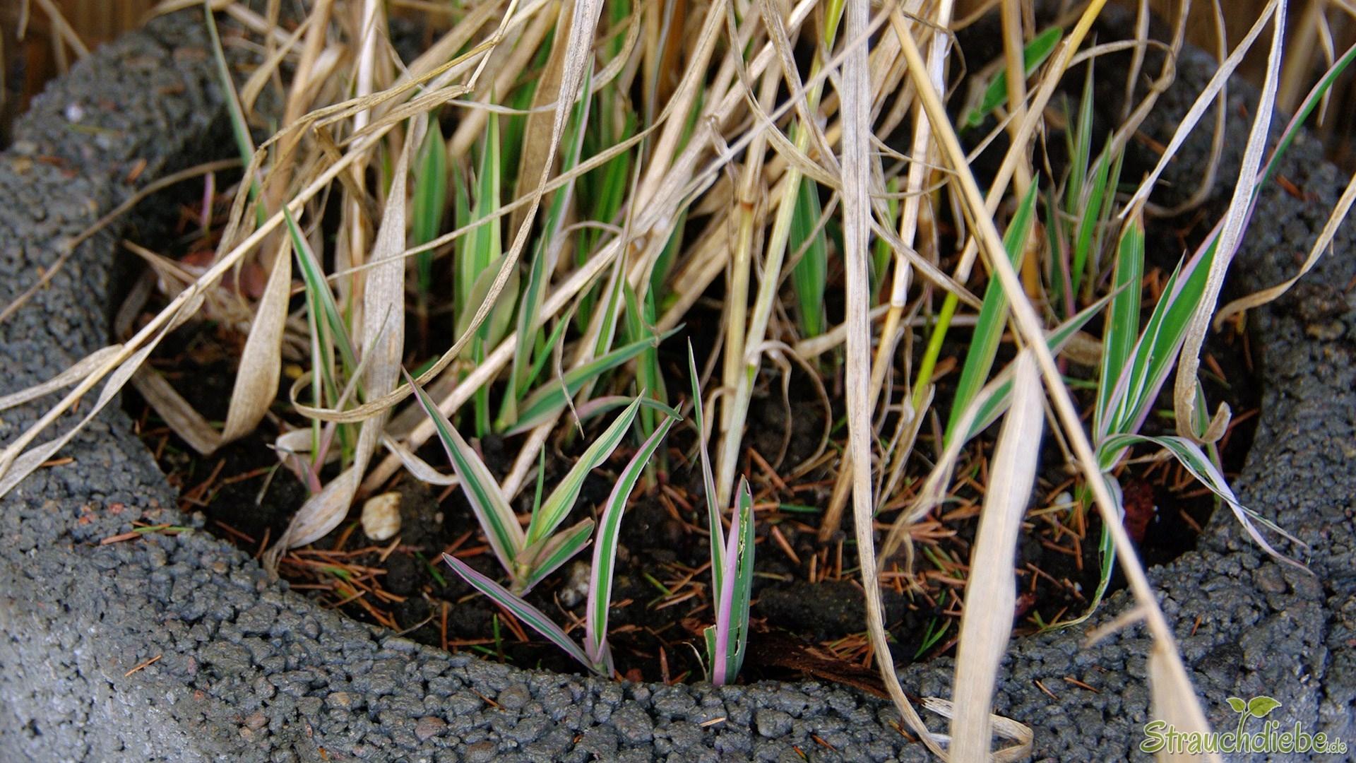 Buntblättriges Rohrglanzgras (Phalaris arundinacea 'Picta')