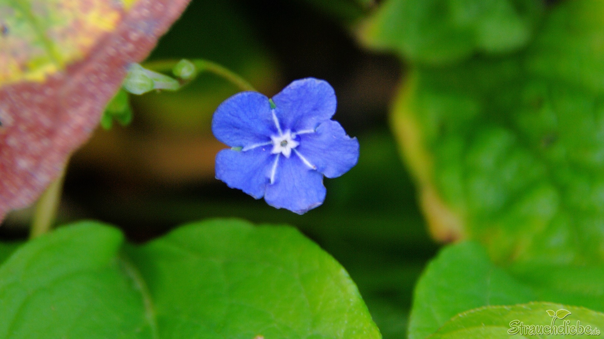 Kaukasusvergissmeinnicht (Brunnera macrophylla)