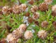 Herbstaster (Aster dumosus)