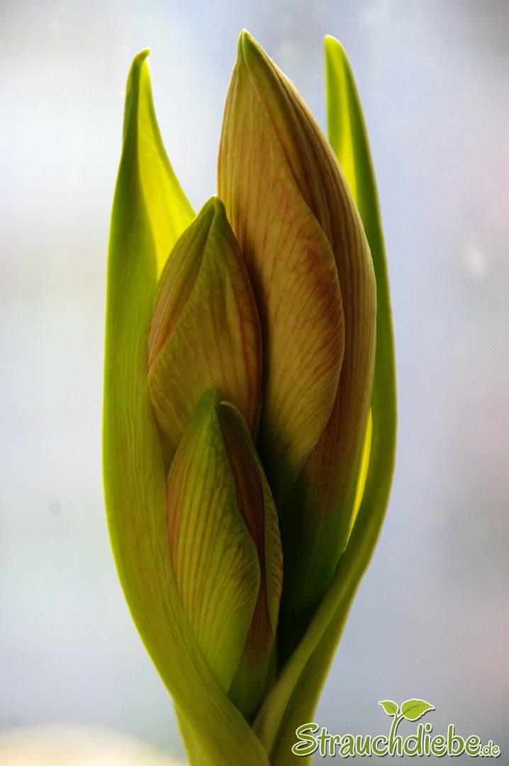 Belladonnalilie (Amaryllis belladonna)