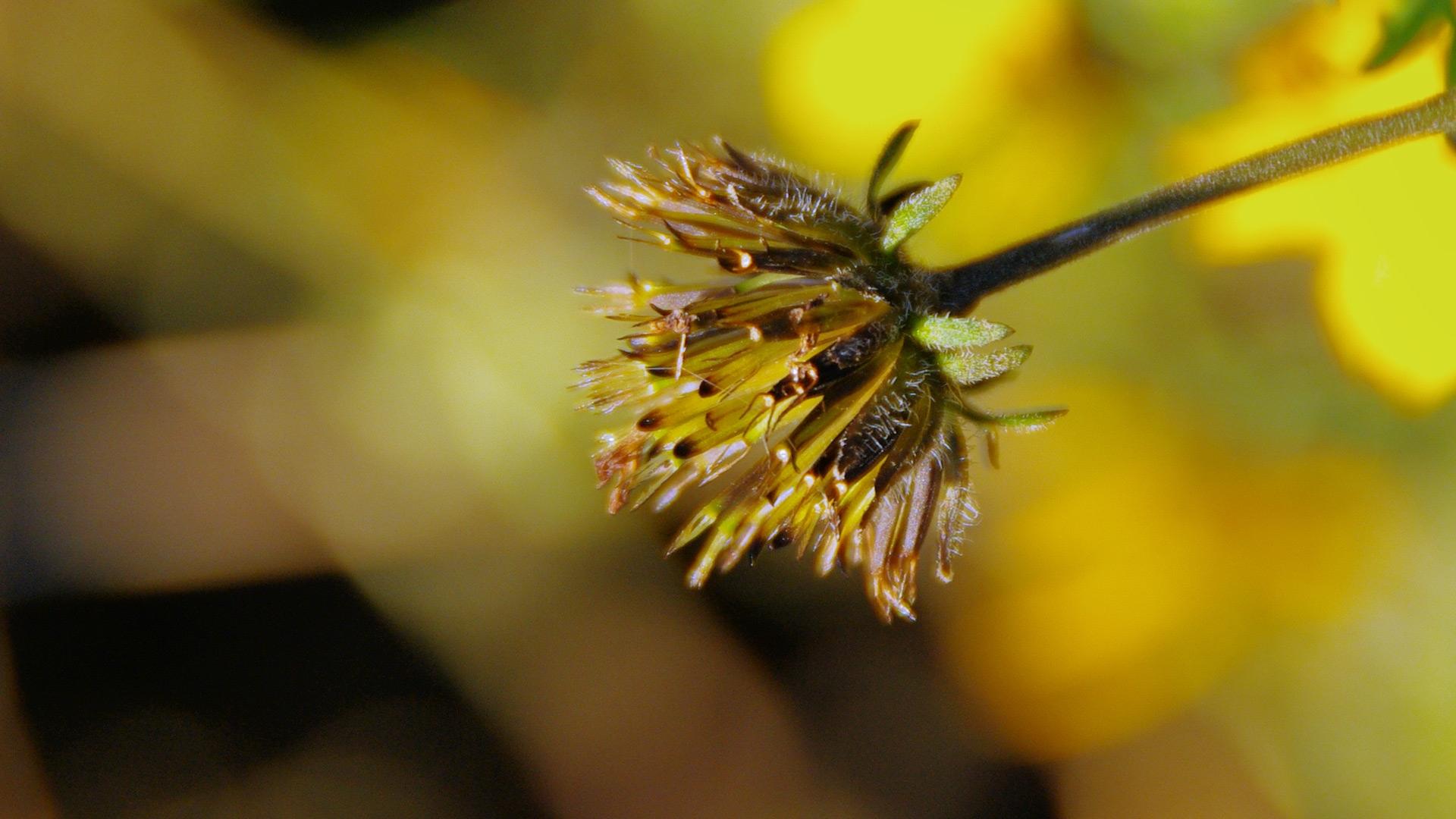 Gold-Zweizahn (Bidens ferulifolia)