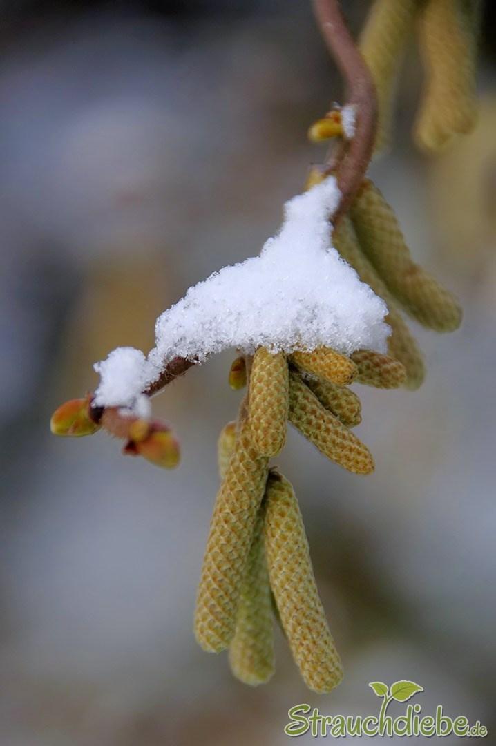 "Korkenzieher-Hasel (Corylus avellana ""Contorta"")"