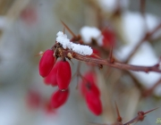 Rote Heckenberberitze (Berberis thunbergii Atropurpurea)