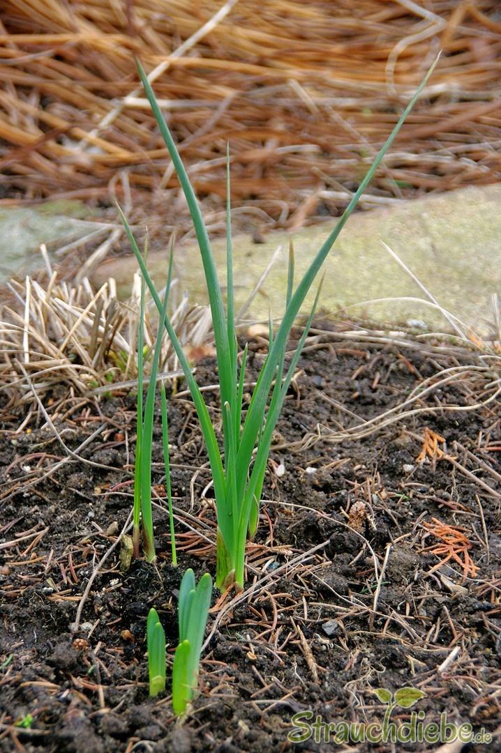 Schwertlilie (Iris) und Narzisse (Narcissus)