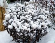 Herbstastern (Aster dumosus)
