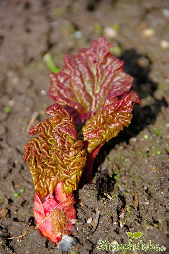 Rhabarber (Rheum ×hybridum)