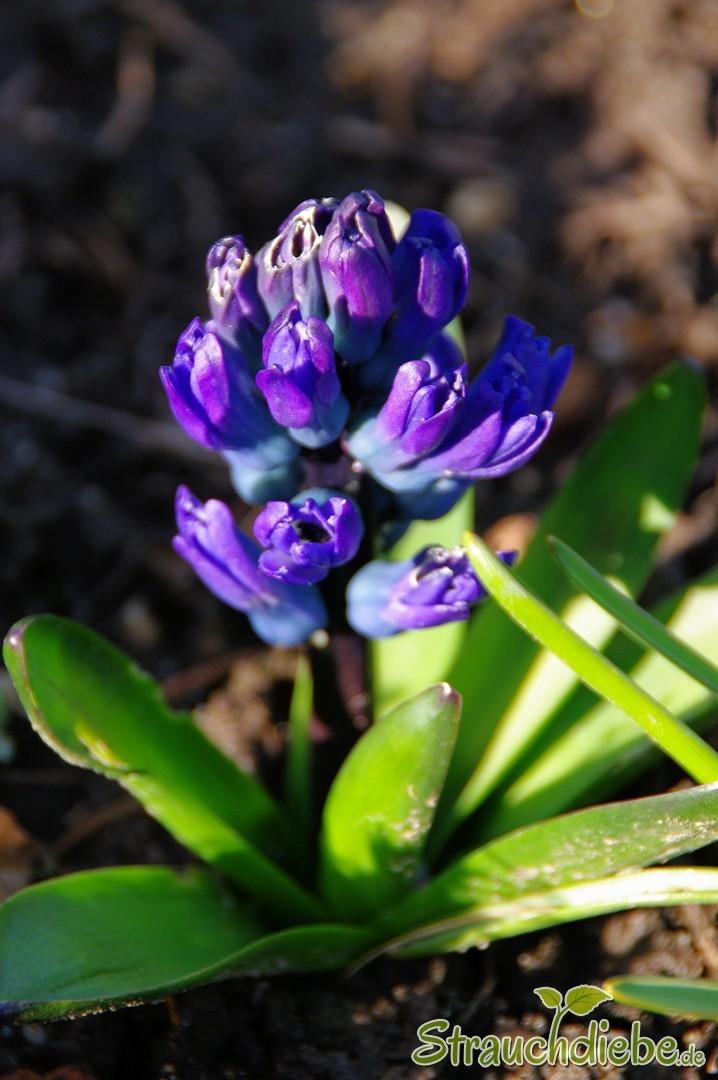 Hyazinthe (Hyacinthus)