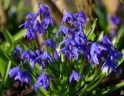 Blausterne (Scilla)
