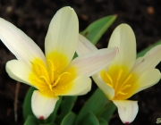 Kaufmanns Tulpe (Tulipa kaufmanniana)