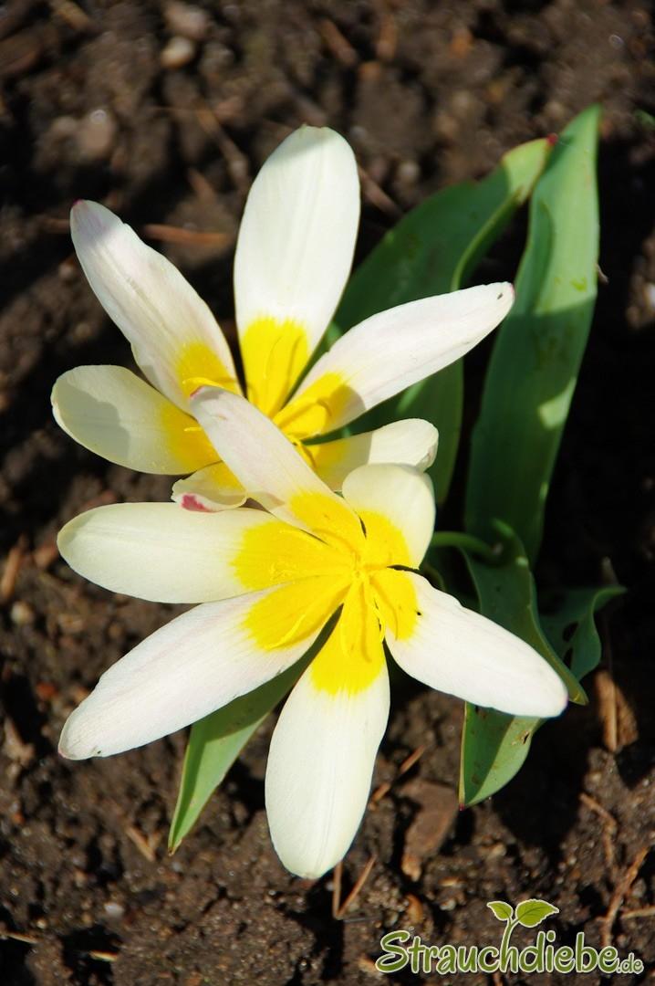 Seerosen-Tulpe (Tulipa kaufmanniana)