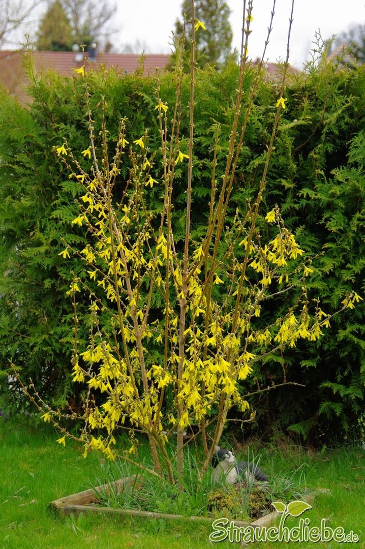 Forsythie (Forsythia × intermedia)
