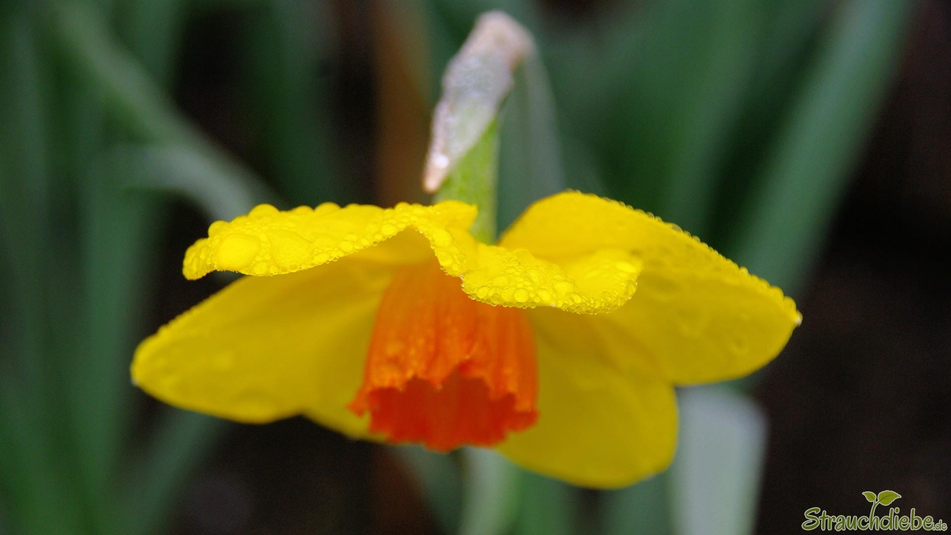 Narzisse (Narcissus)